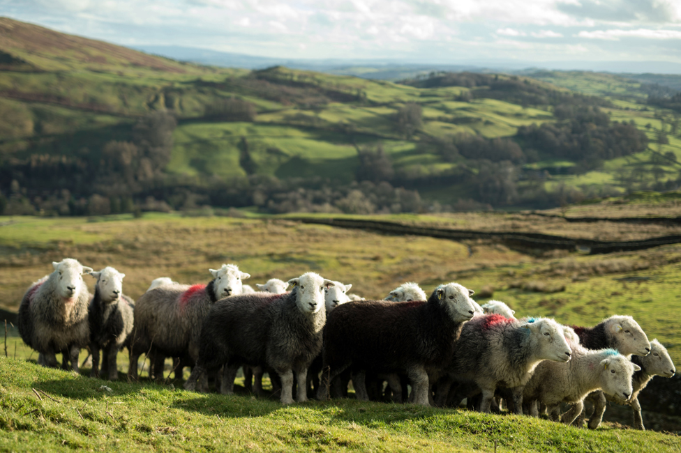 Herdwick sheep on Wansfell