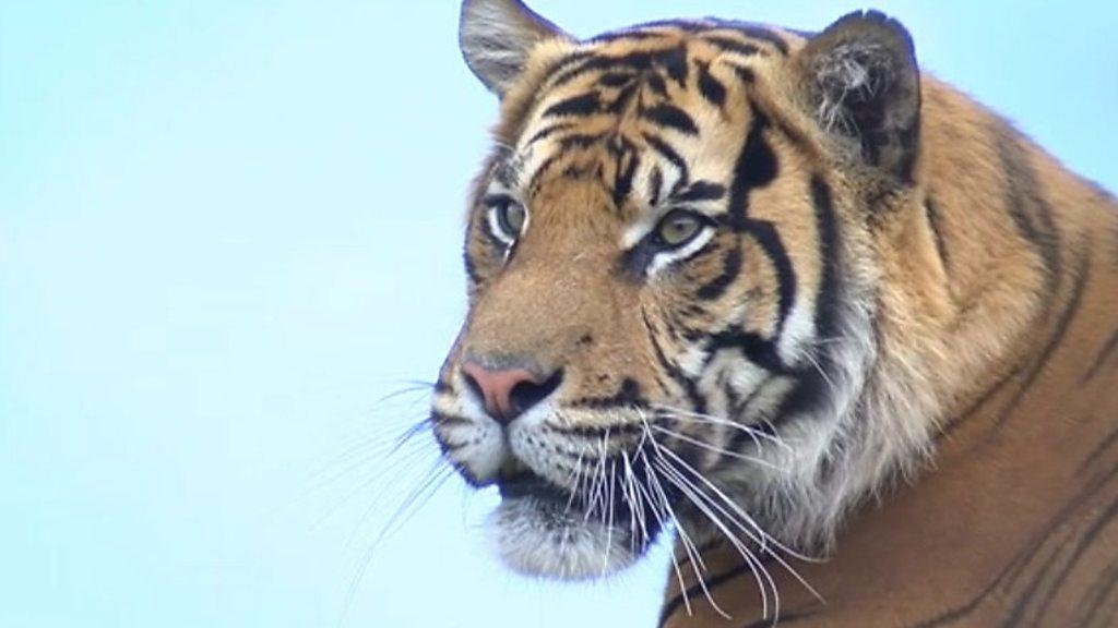 Rare tiger joins Kent breeding programme