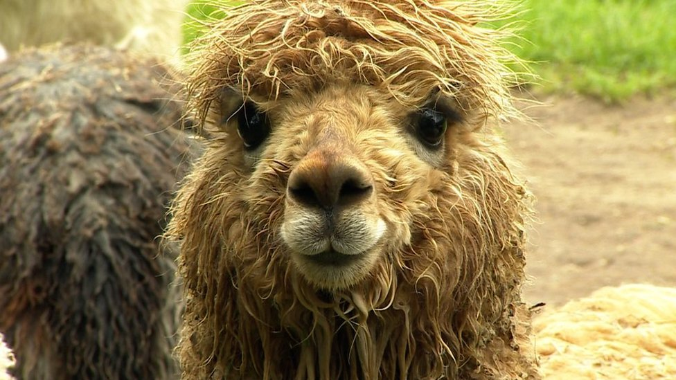 Alpacas attacked by dogs 'need more legal protection'