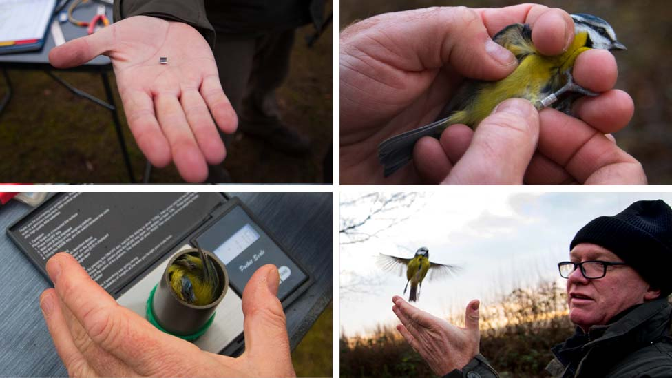 Blue tit ringed and released
