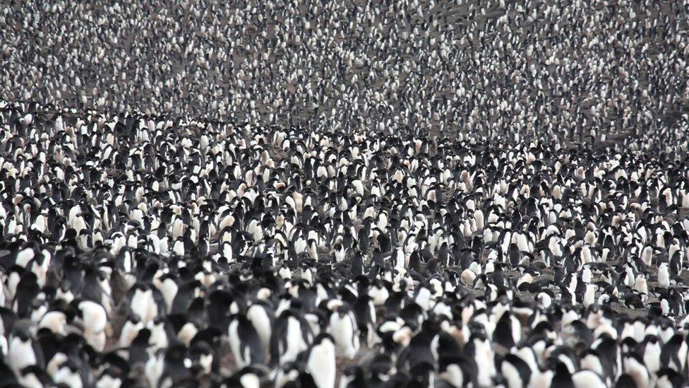 Penguins on the South Sandwich Islands (c) Jim Wilson Images