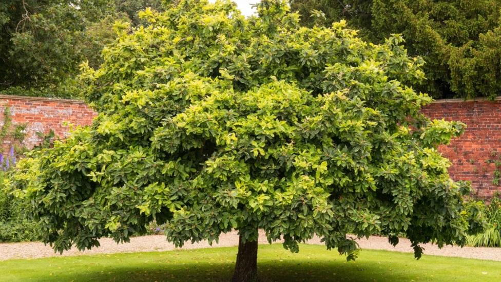 drvo mušmule