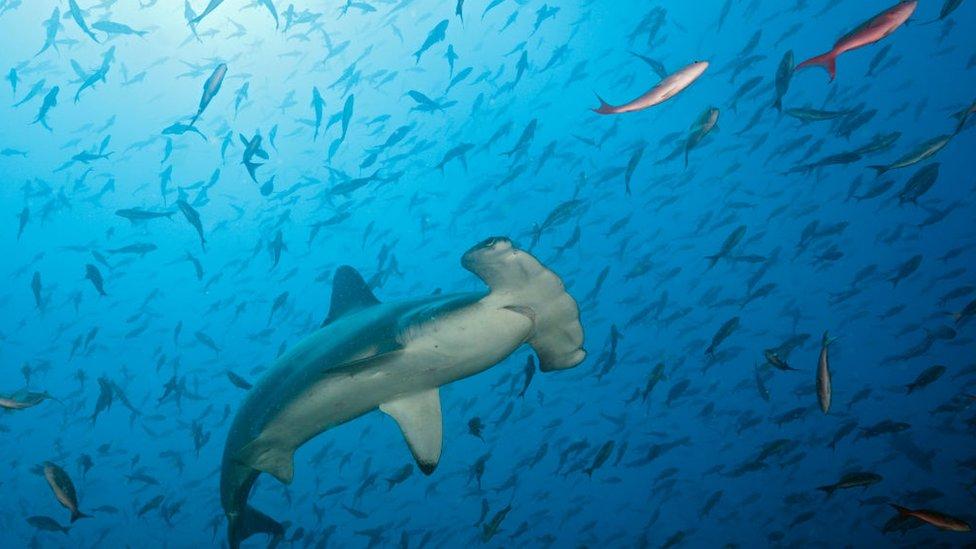 Vida submarina alrededor del Arco de Darwin.