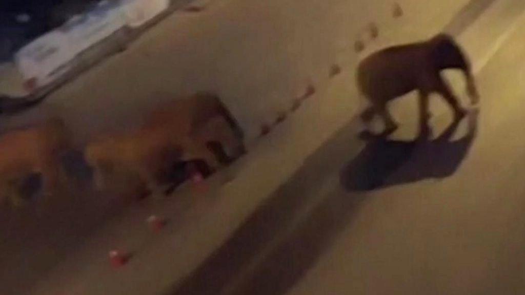 畫面顯示,這些亞洲象穿越了多個城鎮,在馬路上跋涉。.