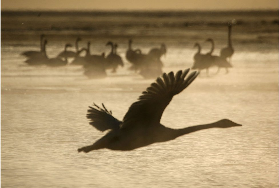 A Whooper Swan flies over the Qinghaihu Lake at Garila Village on 15 January 2009 in Gangcha County of Qinghai Province, China.