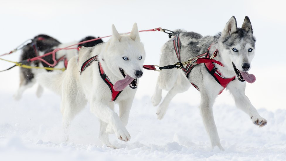 Un par de huskies tirando de un trineo en la nieve.