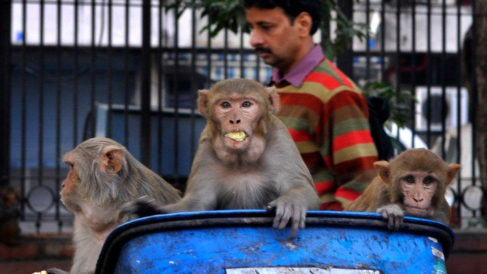 Monos en un bote de basura