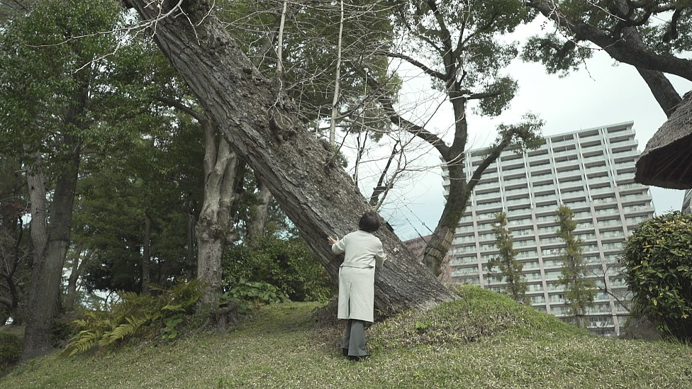 Tronco inclinado del gingko del jardín de Shukkeien, junto a otros árboles con los troncos derechos