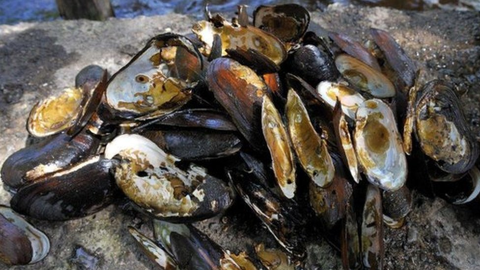 Freshwater pearl mussels poached in Assynt