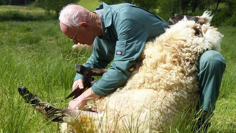 Alan Beat shears one of his sheep.