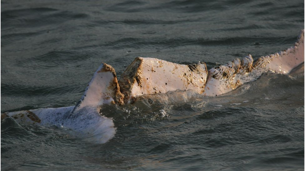 A picture of a dolphin's tail lacerated by a boat turbine