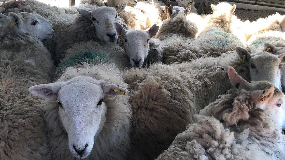 Sheep in a trailer