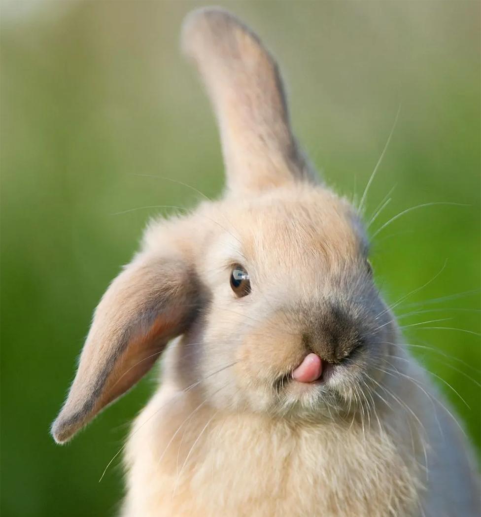 Un conejo sacando la lengua