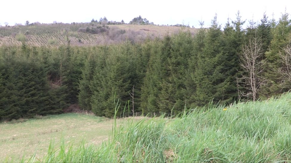 Conifer trees in County Leitrim