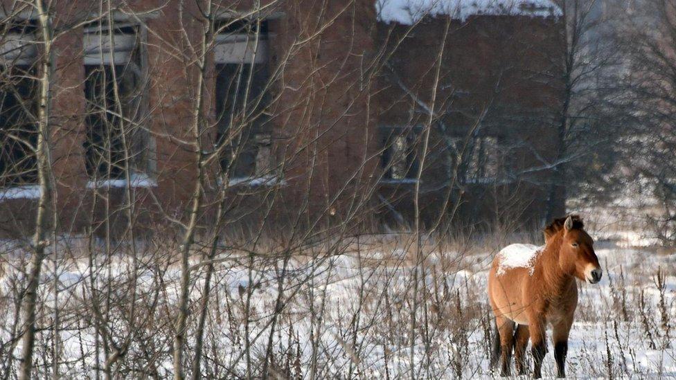 Un caballo salvaje frente a la vegetación y a un edificio abandonado en Chernóbil.