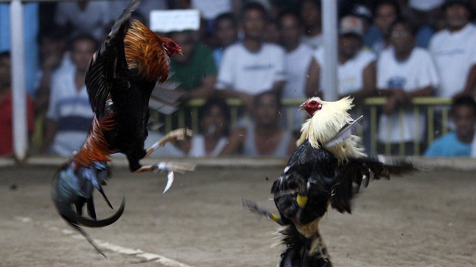 A local cockfight in the Philippines, 2011