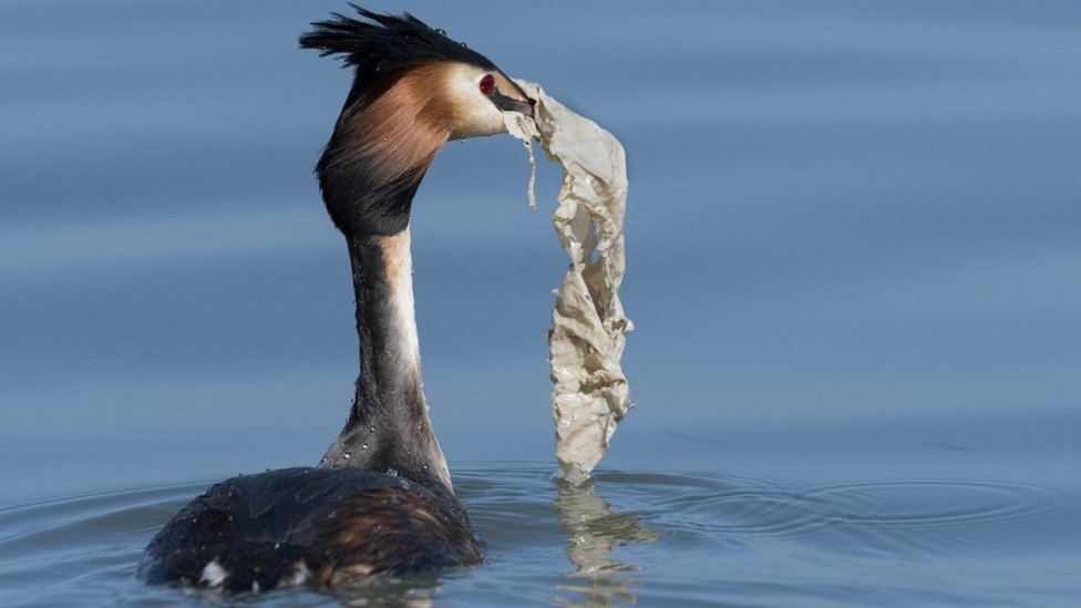 Grebe with plastic