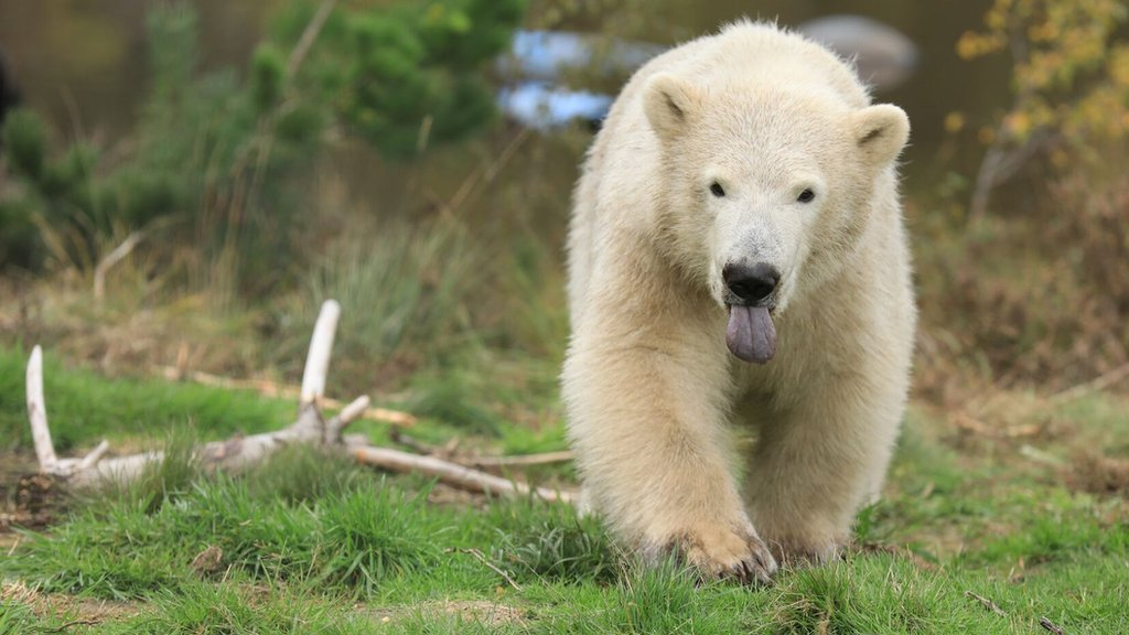 History-making polar bear cub Hamish turns one