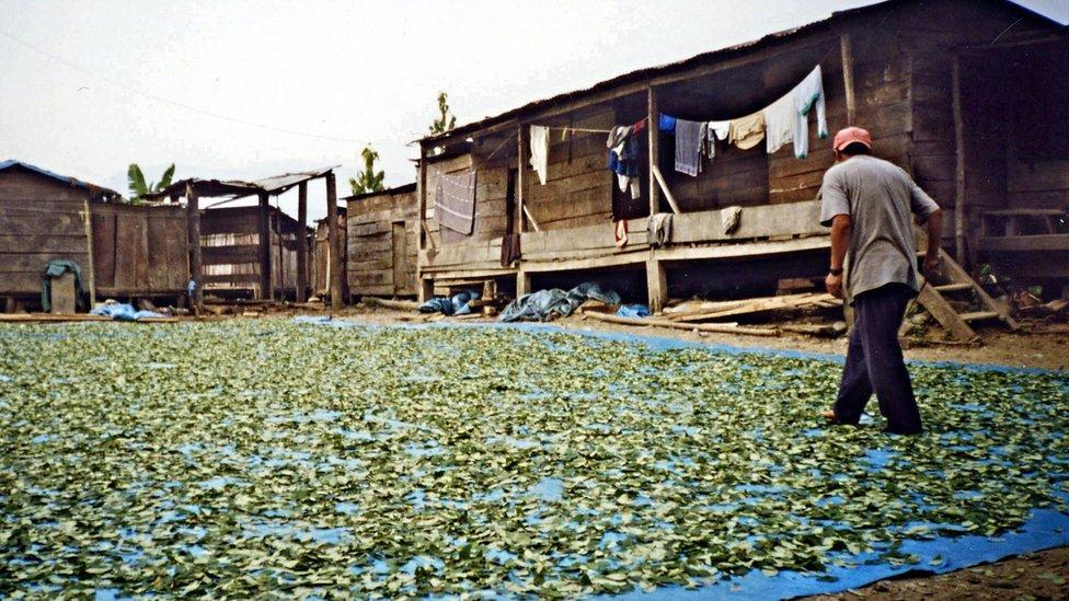Hojas de coca secando