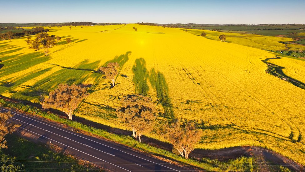 Aerial view of canola fields stretching to the horizon