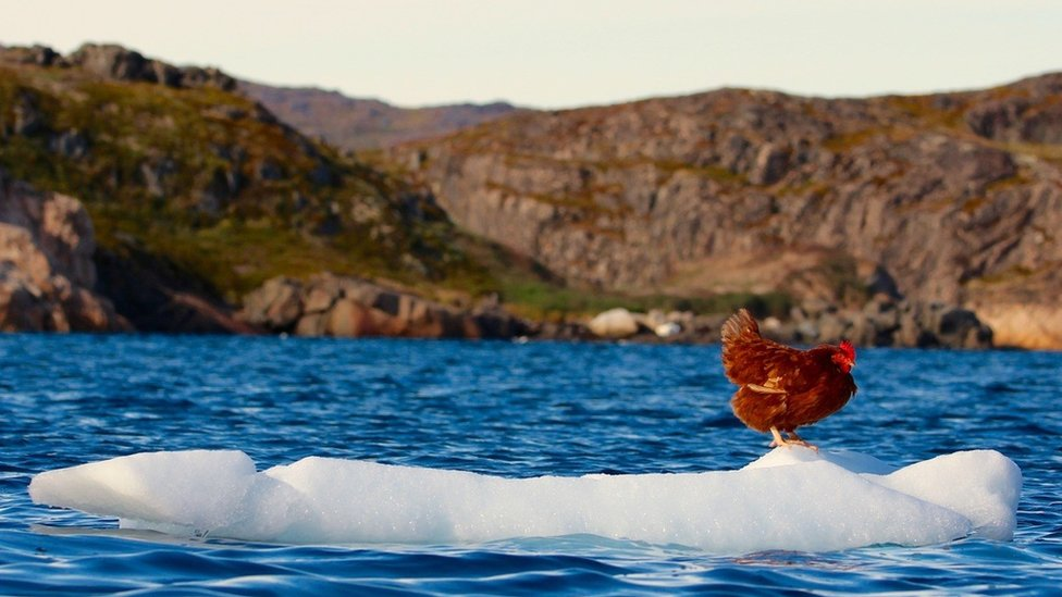 Monique the hen standing on a block of ice in the sea in Greenland