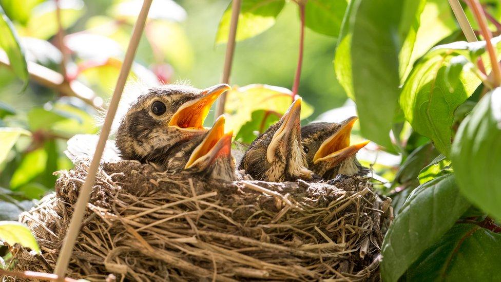 Birds building nests in 'eggstraordinary' places - CBBC Newsround