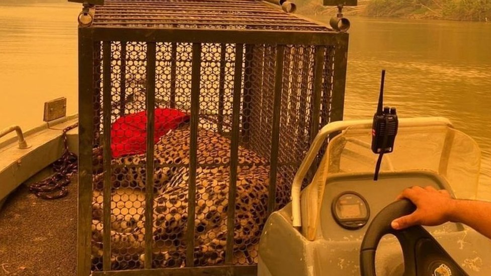 A rescued jaguar is transported on a boat