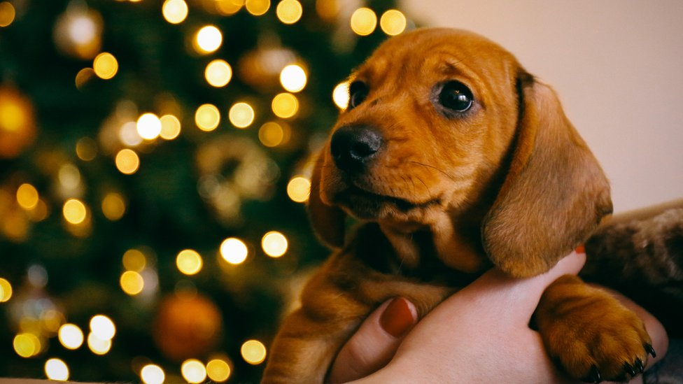A photograph shows a wide-eyed young puppy being held in the air against a blurred background in which the lights of a Christmas tree twinkle