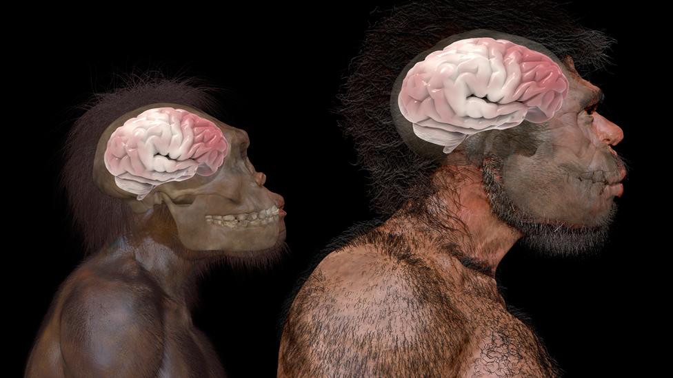 Comparación del tamaño del cerebro de homo naledi (especie de hominino extinta) y homo sapiens según fósiles hallados en Jebel Irhoud en Marruecos
