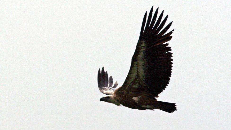 A griffon vulture in flight