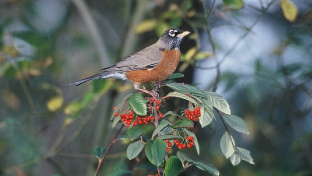 American Robin (c) US Fish and Wildlife Service