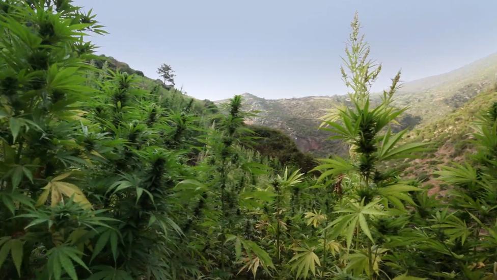 يعتبر مخدر الحشيش أكثر مخدرات العالم شيوعا ومعدل استخدامه في الارتفاع