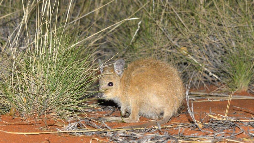 Проект стіна: як у Австралії захищають кенгуру від котів