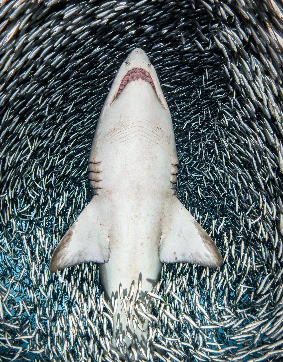 A sand tiger shark surrounded by millions of tiny fish