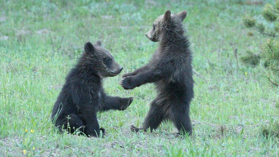 Mladunčad grizlija