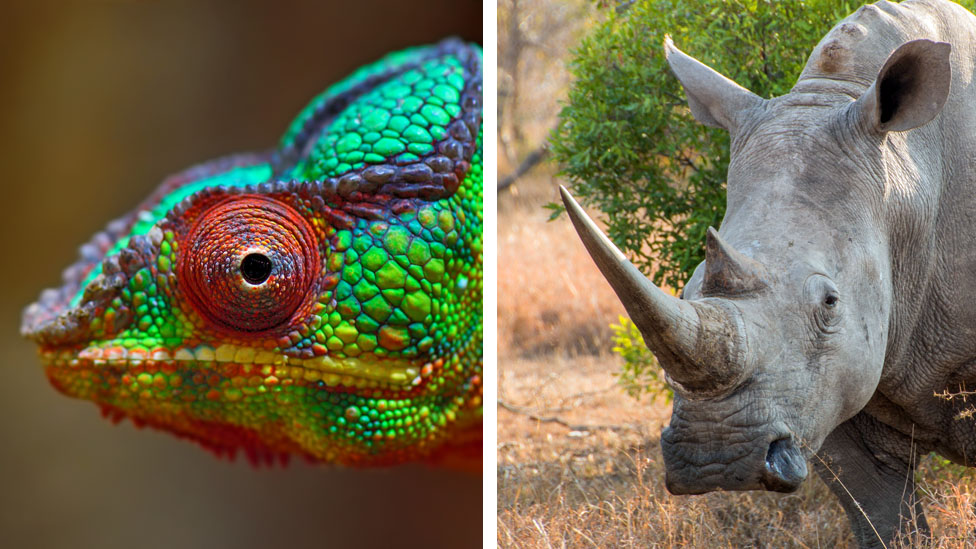 Chameleon and Rhinoceros