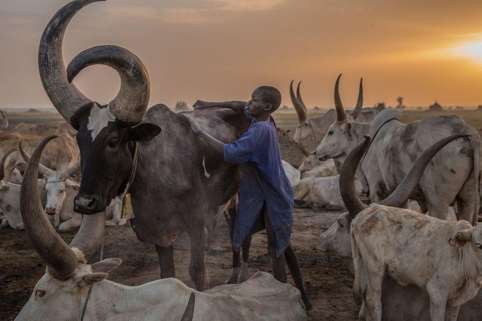 一個丁卡族(Dinka)男孩在清晨放牛