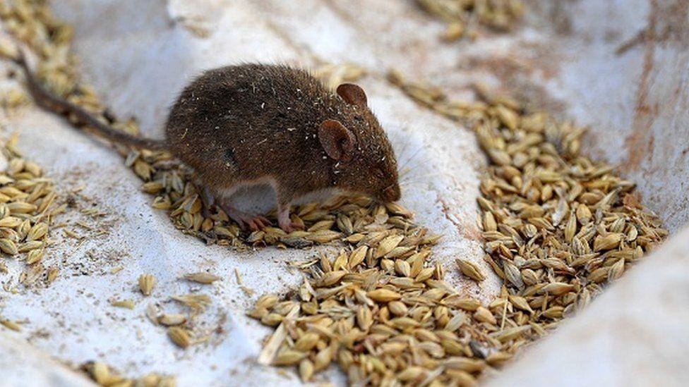 فأر يأكل الجبوب