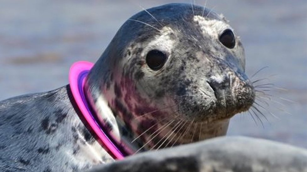 A seal with a ring around its neck