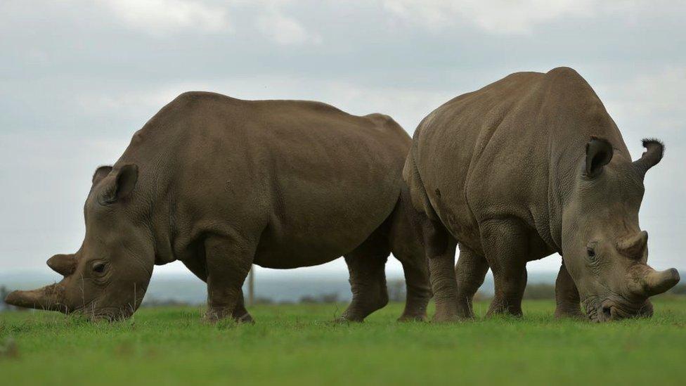Najin and Fatu grazing in open pasture.