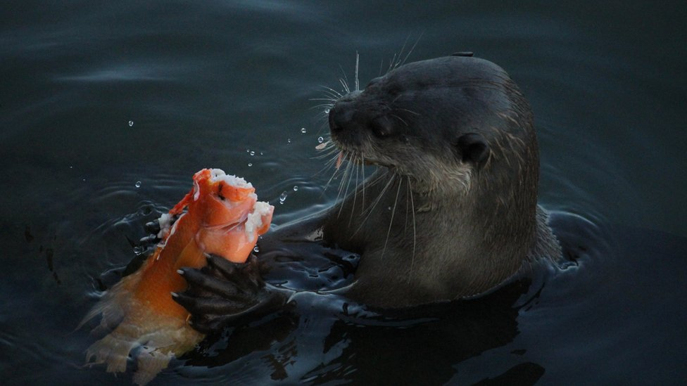 An otter chomping on a fish; shot from side-on