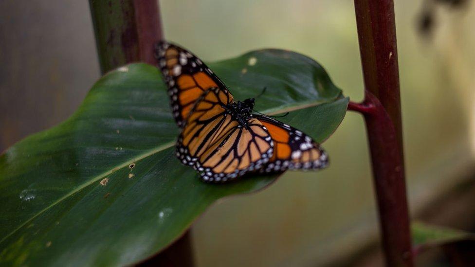 Una mariposa monarca en Bogotá.