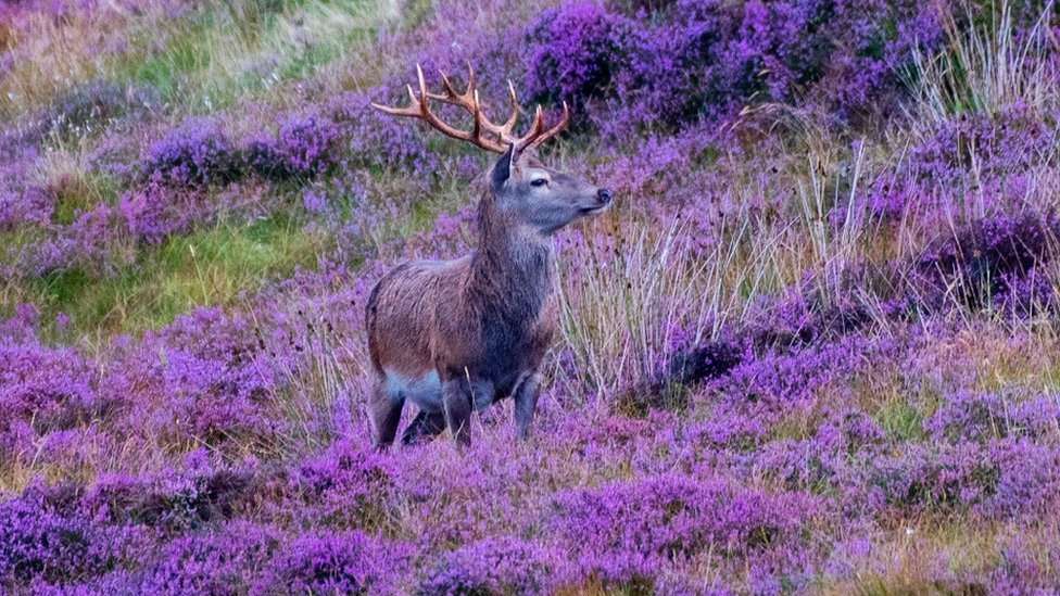 Stag in heather