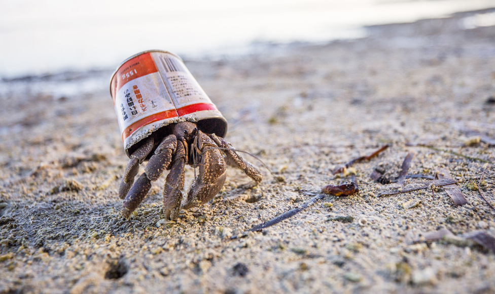 帕勞貝利流島(Peleliu Island) 的這只寄居蟹,以空罐子為家。