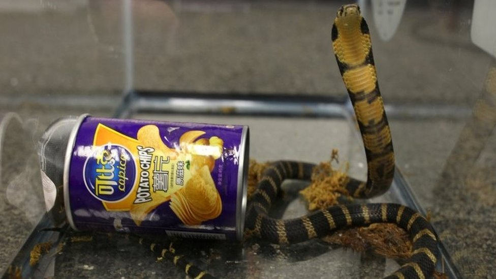 A king cobra snake seen coming out of container of chips in this undated handout.