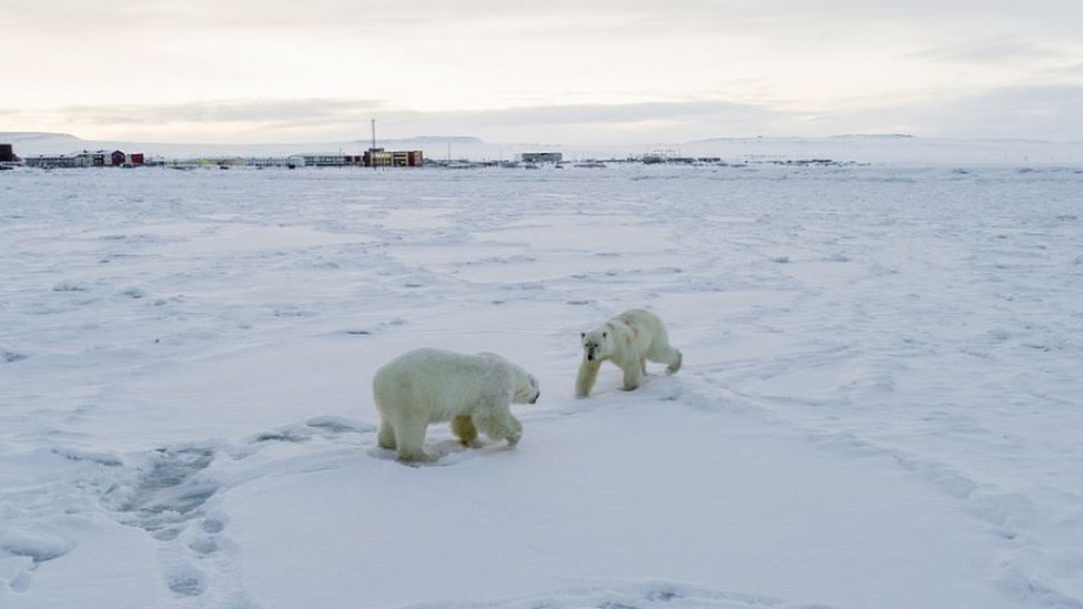 Two polar bears with the village in the background