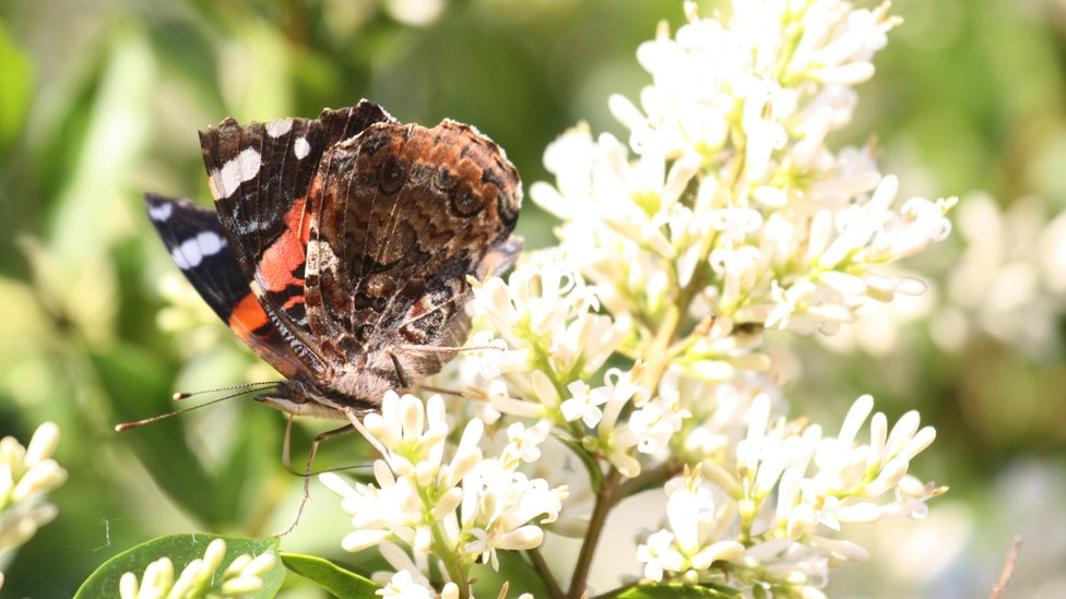 A red admiral butterfly sitting on a flower.