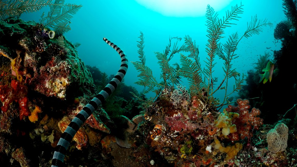 Belcher's sea snake swims over a coral reef in West Papua, Indonesia