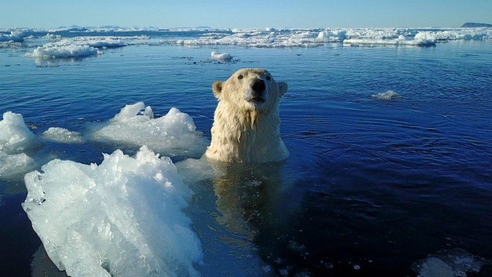 A Svalbard polar bear swims in sea ice