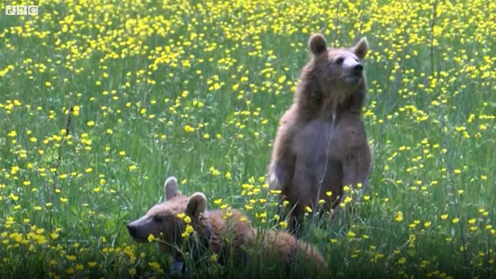 Armenian bear cubs released after help from Sussex charity